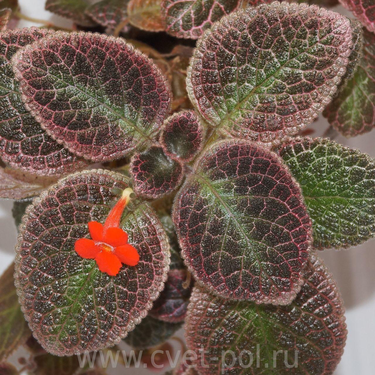 Комнатные цветы эписция фото