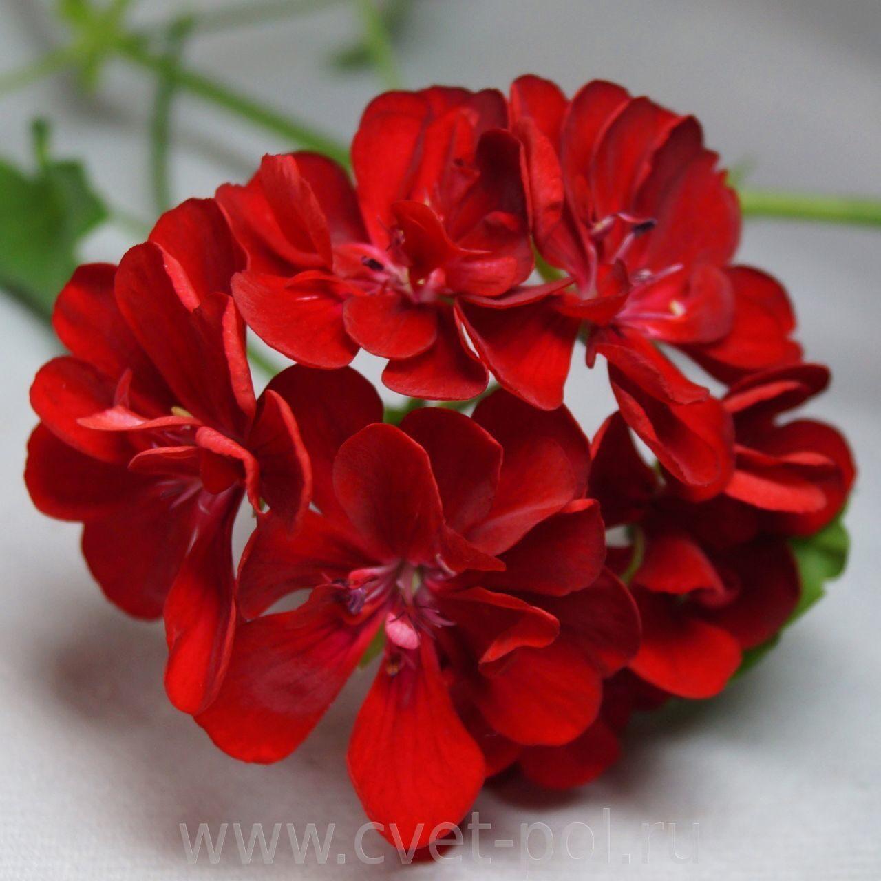 Пеларгония PAC Red Sybil