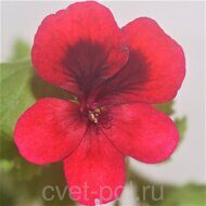 PAC Candy Flower Dark Red